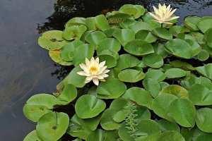 004-fontaine-c-pond-plants